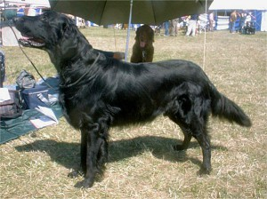 Flatcoated retriever 1