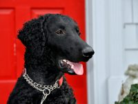 A portrait of a black curly coated retriever in frontt of a red door