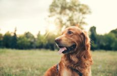 Golden retriever at the park